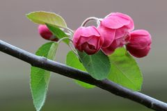Pink crabapple flowers. Pink flowers of malus brandywine Royalty Free Stock Photo