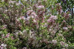 Pink Crabapple tree in full bloom. Flowers and buds in the sunlight. Close up of blossoms. Bright spring sunshine and blue sky in the background royalty free stock photography