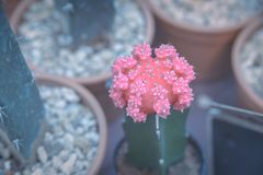 Pink Crafted Moon Cactus in pot - cactus plant Royalty Free Stock Image