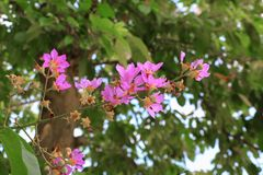 Pink crape myrtle Lagerstroemia speciosa or jarul flower. With copy space add text stock images