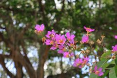 Pink crape myrtle Lagerstroemia speciosa or jarul flower. With copy space add text stock image