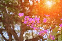 Pink crape myrtle Lagerstroemia speciosa or jarul flower with sunset light tone. With copy space add text stock images