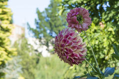 Pink and Cream Dahlias Growing in a Garden Royalty Free Stock Image