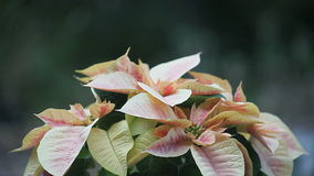 Pink and cream poinsettia stock footage