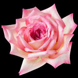 Pink and cream  rose on black Stock Photography