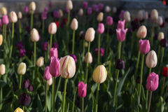 Pink and Cream Tulips in the Spring Stock Photos