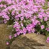 Pink creeping phlox Stock Photos