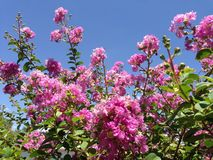 Beutiful Pink crepe myrtle tree Stock Image