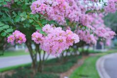 Free Pink Crepe Myrtle Flower Royalty Free Stock Photos - 184136968
