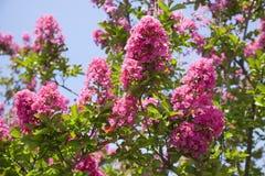 Pink Crepe Myrtle. Pink summer blooming crepe myrtle against blue sky. Horizontal Royalty Free Stock Image