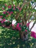 Pink Crepe myrtle tree. Dark pink crepe myrtle tree Virginia Beach Virginia USA royalty free stock photos