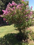 Pink crepe myrtle tree Stock Photo