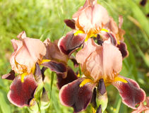 Pink and crimson irises Royalty Free Stock Images