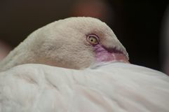 Large White Flamingo with pink beak hides behind tail feathers stock photography