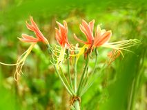Pink crinum lily are blooming after rain. royalty free stock photography