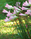 Pink Crocus Flowers. A group of crocus flowers neatly aligned as they seek the sun Stock Photo