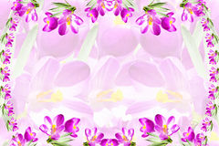 Pink crocus spring flower texture white background Royalty Free Stock Image