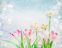 Pink crocuses and daffodils flowers on light blue background with bokeh. Stock Photography