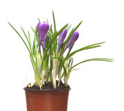Crocuses flowers in pot isolated Royalty Free Stock Images