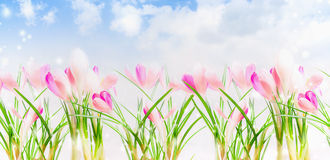 Pink crocuses  over sky background, banner Royalty Free Stock Photography