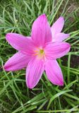 Pink crocuses in spring day. Pink crocuses in spring day and colorful Stock Image
