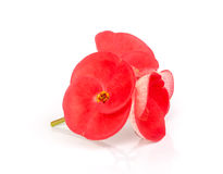 Pink Crown Of Thorns Flower. Royalty Free Stock Photos