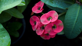 Pink Crown of Thorns Stock Photo