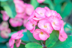 Pink crown of thorns flowers Royalty Free Stock Photos