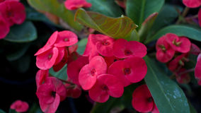 Pink Crown of Thorns Stock Photos
