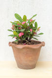 Pink crown of thorns plants in earthenware pot on plywood and co. Ncrete wall picture royalty free stock photos