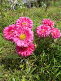 Pink crysanthemum mums flowers Royalty Free Stock Photos