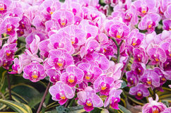 Pink cultivated orchid Royalty Free Stock Image