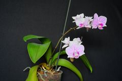 Pink cultivated orchid isolated over black Royalty Free Stock Image