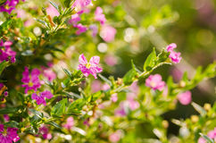 Pink Cuphea hyssopifolia or false heather or Mexican heather or Royalty Free Stock Image