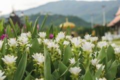 Pink Curcuma alismatifolia flower Royalty Free Stock Photography