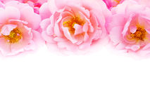 Pink curly roses on the white background. Pink curly roses bouquet on the white background Stock Images