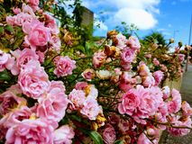 Pink cute rose bush with blossoming flowers and green leaves with a blue sky background stock photo