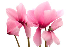 Pink cyclamen Stock Photos