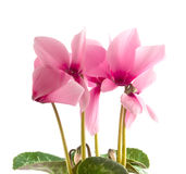 Pink cyclamen Royalty Free Stock Image