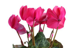 Pink cyclamen Stock Image
