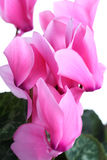 Pink cyclamen Royalty Free Stock Photography