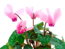 Pink cyclamen Stock Photography