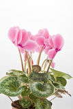 Pink cyclamen. On a white background Stock Photos