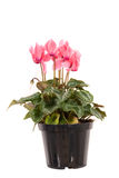 Pink cyclamen Royalty Free Stock Photo