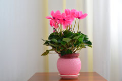 Pink cyclamen on background of white curtains and wallpaper Royalty Free Stock Photos
