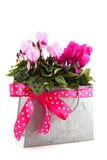 Pink Cyclamen for the birthday Royalty Free Stock Photography