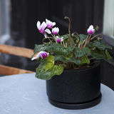 Pink cyclamen in black pot on table Royalty Free Stock Photo