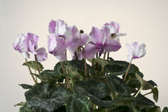 Pink cyclamen bloom. Blooming flower pot. Stock Photos