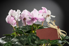 Pink cyclamen bloom and green leaf. Blooming floral pot. Royalty Free Stock Photography