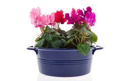 Pink Cyclamen in blue bucket Royalty Free Stock Photography